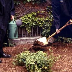 ivy planting